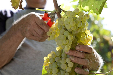 raccolta-uva-forbici-vendemmia-sicilia-uva-vino-marsala-news-www.marsalanews.it-marsala-notizie-marsala-giornale-online