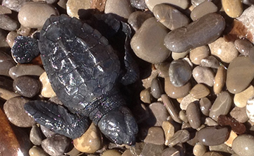 tartarughina-caretta-caretta-tartaruga-nido-nidificazione-isole-egadi-favignana-marsala-news-cronaca-sicilia-marsalanews