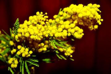 mimosa-rametto-festa-internazionale-della-donna- 8 marzo -marsala-marsalanews