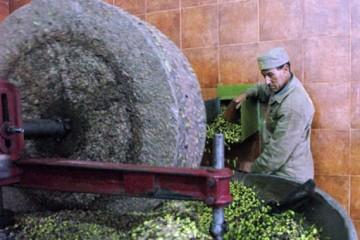 tunisia-frantoio-olio-tunisino-sul-mercato-europeo