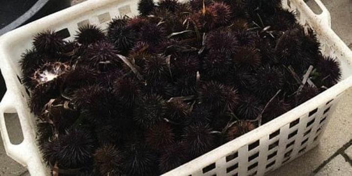 Sorpresi a raccogliere ricci in area marina protetta, denunciati dai carabinieri